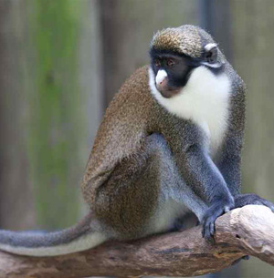 lesser-spot-nosed-guenon
