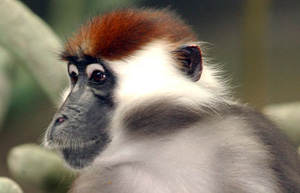 rc-mangabey-main
