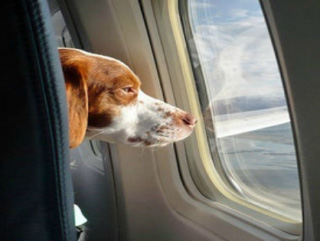 flying-with-service-therapy-dogs